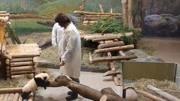 5個月大的熊貓寶寶隨便賣個萌,都能把老外撩得一驚一乍